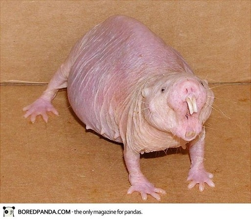 �r���@Naked Mole Rat.jpg