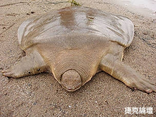 �(���P��)�@Cantor��s Giant Soft Shelled Turtle.jpg