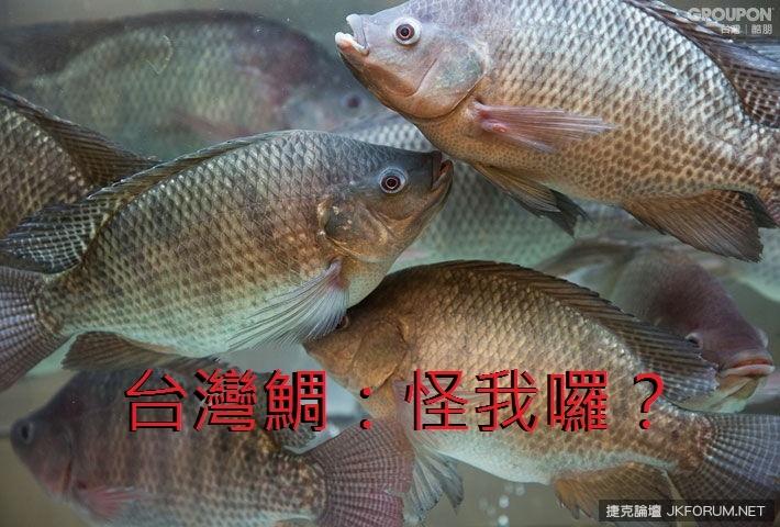現撈台灣鯛.jpg