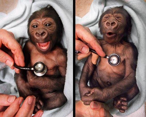 A_newborn_baby_gorilla_at_Melbourne_Zoo_gets_a_checkup_at_the_hospital_and_shows.jpg