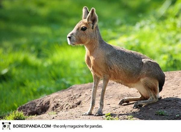 巴塔戈尼亞豚鼠 Patagonian Mara.jpg