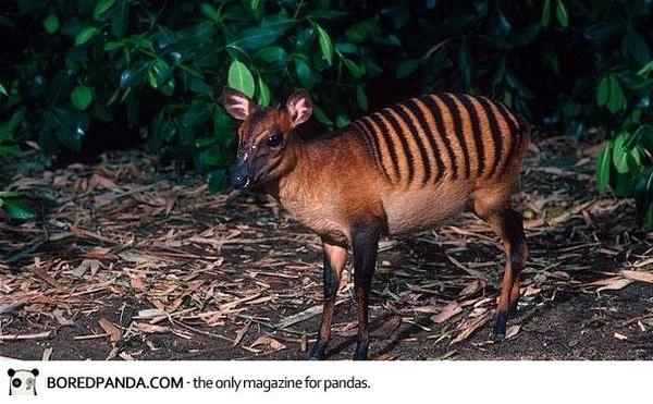 斑背小羚羊 Zebra Duiker.jpg