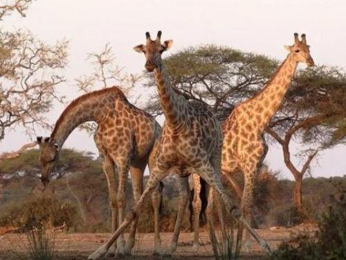 身高8米的長頸鹿,但是交配過程只有1秒,還能順利繁衍後代